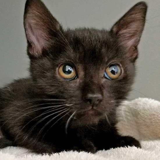 Cat Kittens For Adoption In San Diego Kitten Adoption Cats And Kittens Cat Adoption