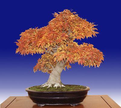 What is a Shishigashira Japanese maple?