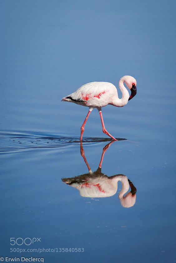 Flamingo by declercqerwin via http://ift.tt/1JK8RQt
