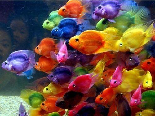 Multi-colored fish: Pretty Fish, Beautiful Fish, Beautiful Color, Rainbow Fish, Fishtank, Colorful Fish