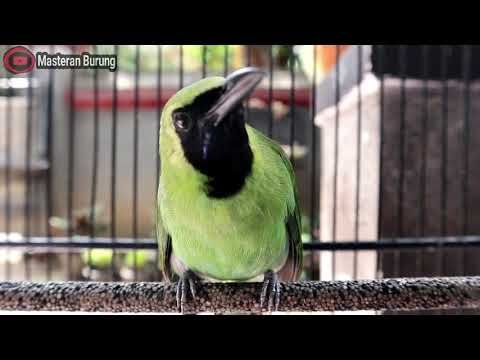 Kicau Burung Cucak Ijo Ngentrok Full Baik Untuk Masteran Burung