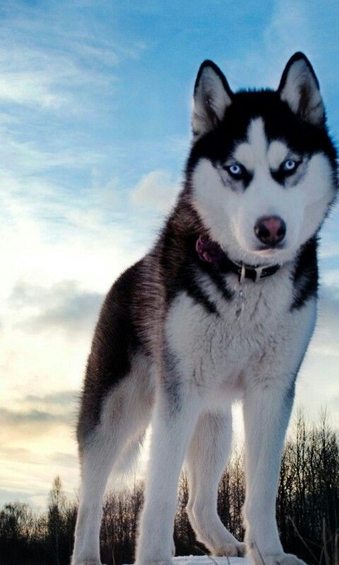 Pin By Karen Roberts On Absolutely Other Siberian Husky Husky