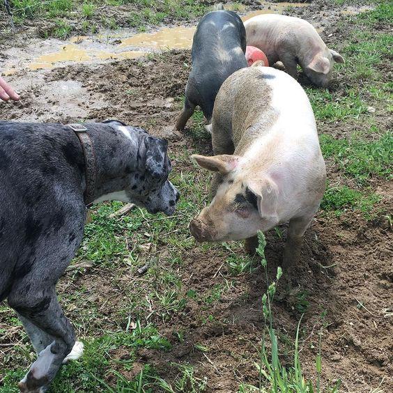 Juno 's Pig Pig! #greatdane #greatdanesofinstagram #pig #mud by dripps_knits