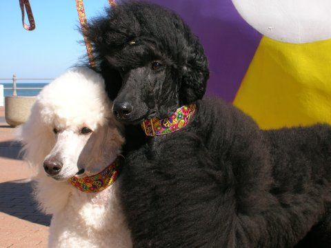 Standard Poodles, via Flickr