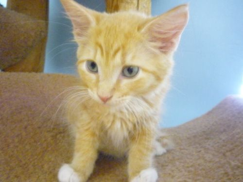 Cheeto # 6109 Needs a good home! www.CatsExclusive. org. Fixed, vaccinated, negative for FIV/FeLV/HW, de-wormed, de-fleaed