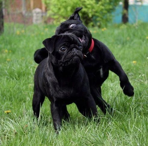 Figure Out More Information On Black Pug Pups Look At Our Website Blackpugpups In 2020 Pug Puppies For Adoption Pug Puppies Black Pug Puppies