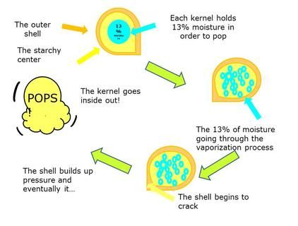 Anatomy of a popcorn kernel