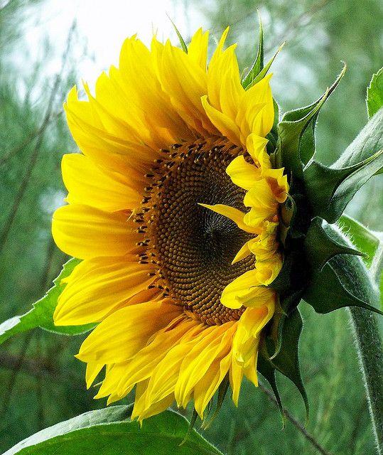As a sunflower grows toward the light of the Sun, may we grow towards the light of God.: