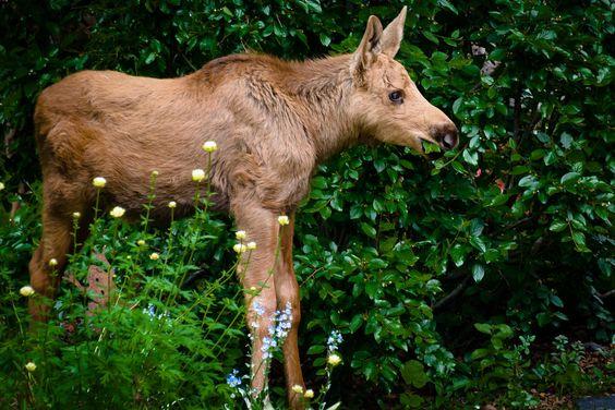 Baby moose calf munching on my neighbors garden.