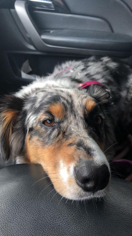 41 Australian Shepherd Mix Breed Reviews Puppy Friends