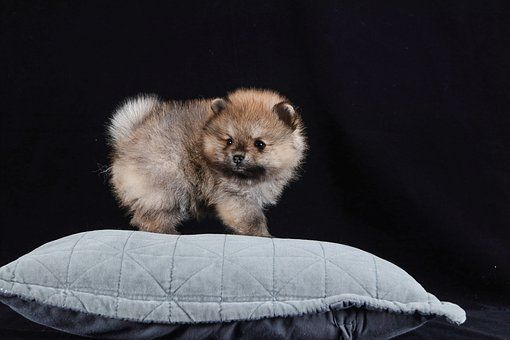 Pin On Teacup Dog Breed Information