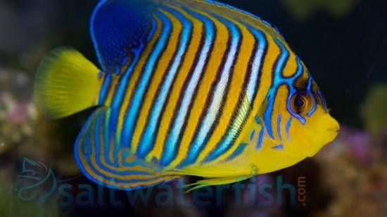 Regal Angelfish Yellow Belly Saltwater Fish Angelfish Large Angel Fish Yellow Bodies Fish
