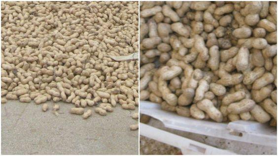(左)しっかり乾燥できた落花生。(右)中国の市場で見たもの。ところどころ黒ずんでいる