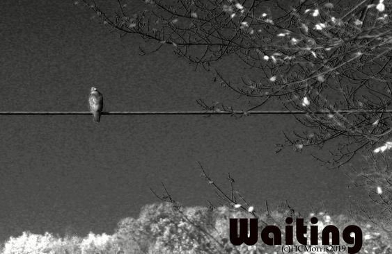 black and white image of a hawk on a wire with words