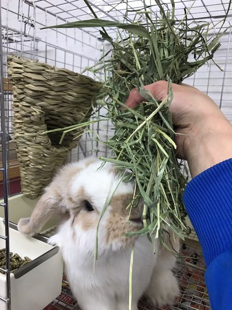 ジャンゴくんとチモシーコーン ウサギのケージ うさぎ ウサギ