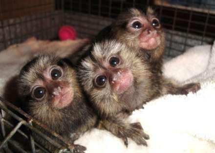 Three little Pygmy marmosets