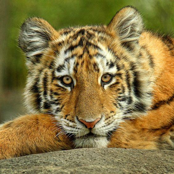 Siberian tiger cub | Animal Kingdom / WildLife | Pinterest ... Cute Siberian Tiger Cubs