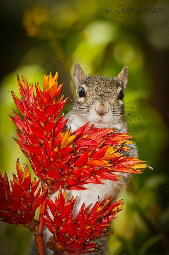 Bright-eyed squirrel on a red plant. Nature photo by Chris Johnson