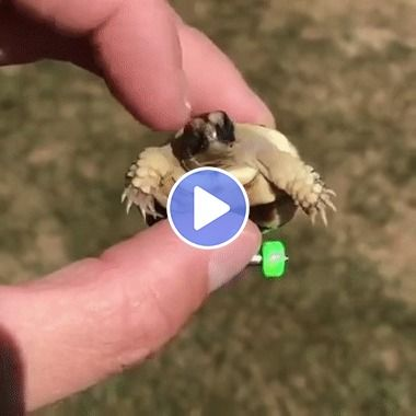 Agora essa tartaruguinha deficiente vai conseguir se mover