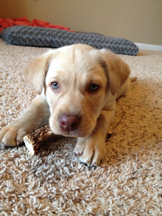 My Yellow Lab puppy with blue eyes | Animals | Pinterest ...