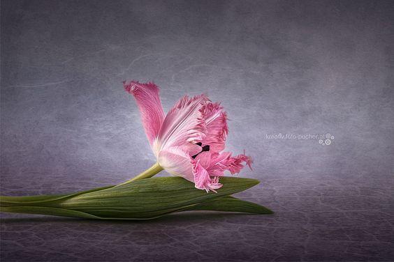 Tulpe | by Michaela Pucher