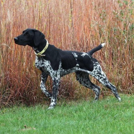 Hunting Dog Breeds German Shorthaired Pointer Dog Breeds
