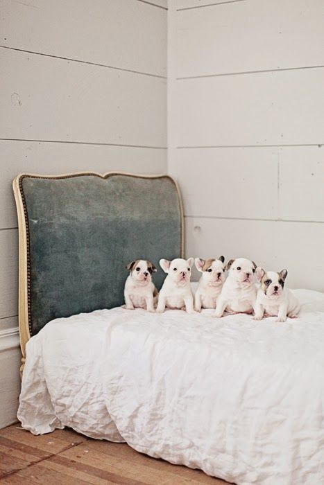 ベッドに並んだおしゃれでかっこいい犬の壁紙