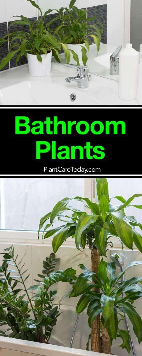 17 Beste Badezimmer Pflanzen Wie Man Verwendet Wie Man Wahlt Pflanzen Badezimmerpflanzen Pflanzen Indoor