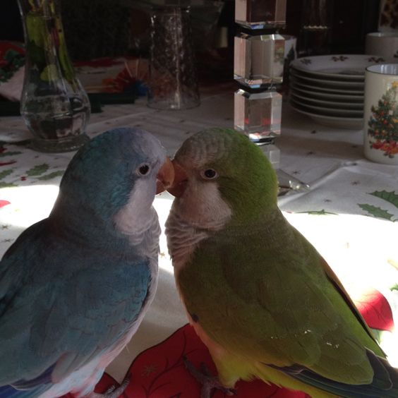 A blue and green Quaker parrots