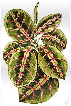 Maranta Prayer Plant In Watercolor Poster By Oirabot In 2020 Plant Painting Watercolor Plants Plant Drawing