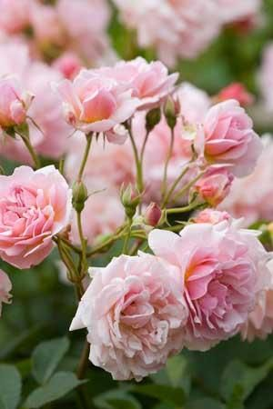 Rose 'Felicia'. So easy to grow, gorgeous out and in with masses of flowers from June to October