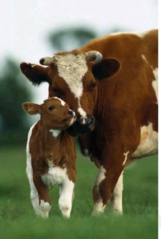 Mama and calf together <3