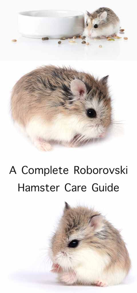 Roborovski Hamster Care Guide Roborovski Hamster Hamster Care Dwarf Hamster