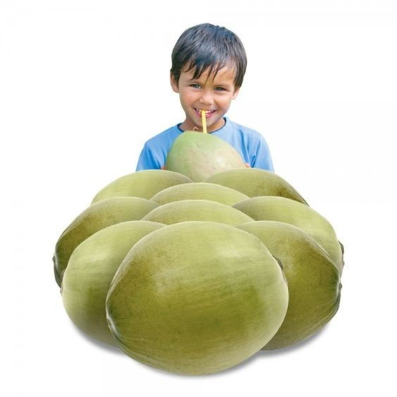 Junge grüne erntefrische Trinkkokosnüsse