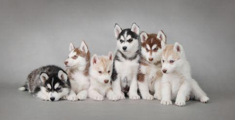 Siberian Husky Pups!
