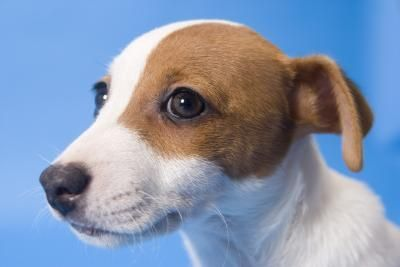 How to Train a Jack Russell Mix thumbnail LOL, this really should read how you are trained by a JR...