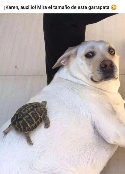 Perros Graciosos Http Enviarpostales Es Perros Graciosos 393 Perros Animales In 2020 Funny Animal Memes Pinterest Memes Pets