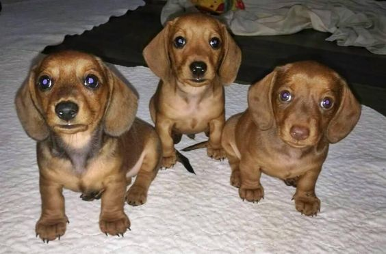 55 Dachshund Dog Puppies For Sale In 2020 Dachshund Dog Dogs