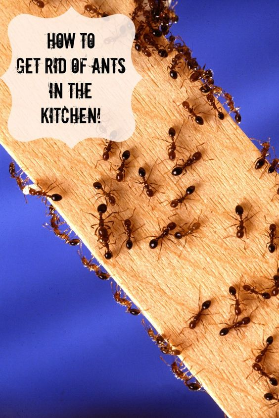 How to rid of ants in the kitchen