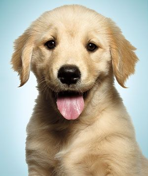 How could you not love such a face? The dog-i-tis is seriously kicking in.: Cutest Puppy, Golden S, Difference Learning, Golden Retrievers, Happiness Learning, Happiness Dog, Baby Golden