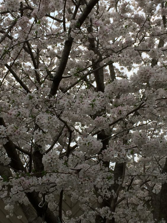 Flowering Cherry Tree in my yard.