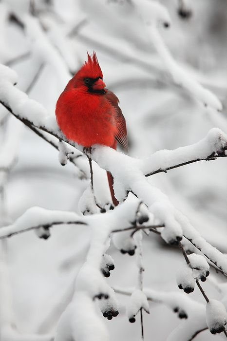 Beautiful miss you and northern cardinal on pinterest - Pictures of cardinals in snow ...