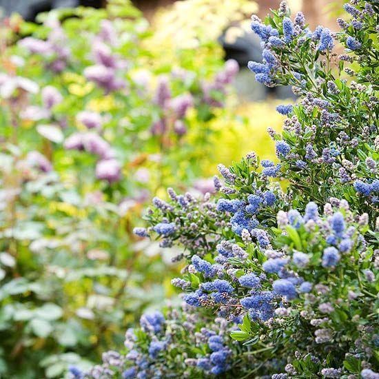 We shrubs and the plant on pinterest for Flowering bushes for full sun