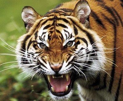 Hermoso tigre.