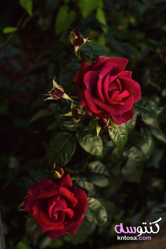 صور ورود تحميل احلي صور الورود لهاتفك المحمول صور حلوه ورد طبيعي عالية الجودة Kntosa Com 07 19 157 Beautiful Flowers Red Roses Beautiful Roses