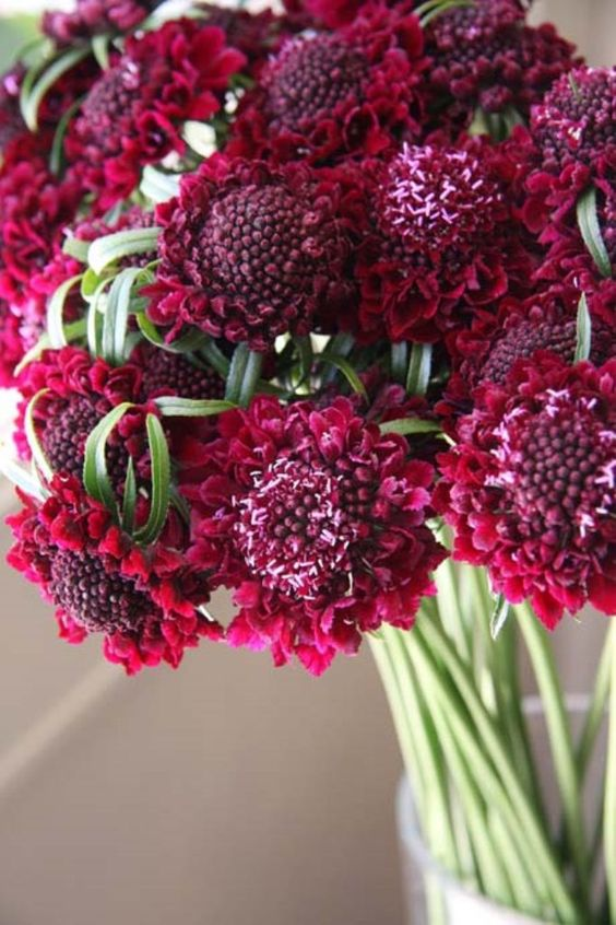 """Scabiosa Seeds - RED Elegant, 2 1/2-3 1/2"""" blooms with long, clean, wiry stems and good vase life are perfect for cutting. Seed pods can be cut and used to add whimsy and interest to mixed bouquets. P"""