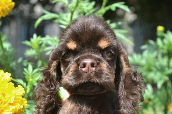 adorable chocolatey-toned American cocker spaniel pup