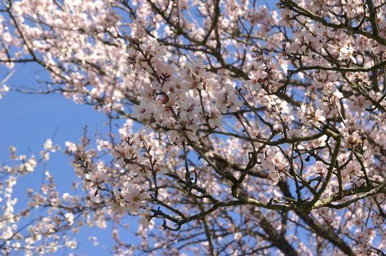 Fin février, les amandier en fleurs.
