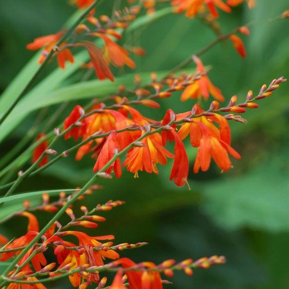 Marissa's Premium Blooms Crocosmia Mix 20-Bulb Set By Spray-N-Grow