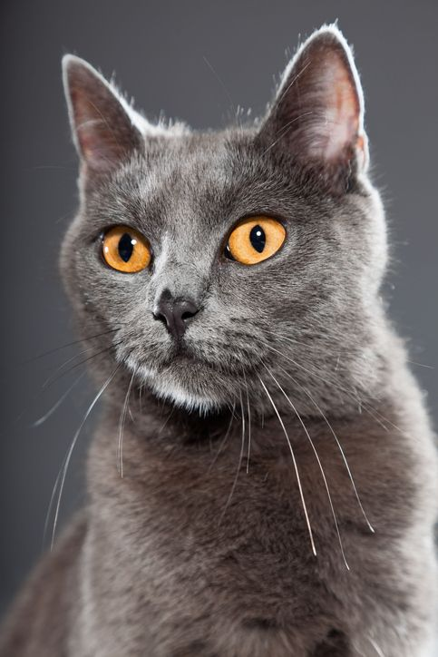 15 Of The Friendliest Cat Breeds Chartreux Cat Grey Cats Cat